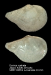 Euciroidae