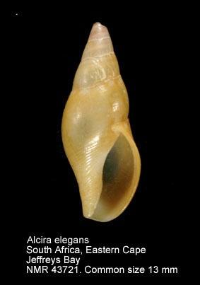Alcira elegans