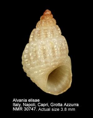 Alvania elisae