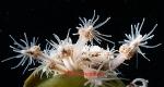 Clava multicornis