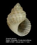 Rissoidae