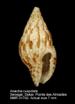 Anachis cuspidata