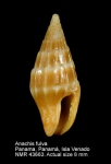 Anachis fulva