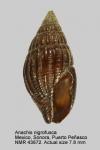 Anachis nigrofusca