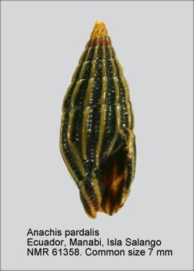 Anachis pardalis