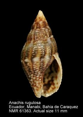 Anachis rugulosa