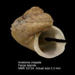 Anatoma crispata