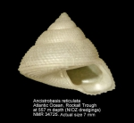 Ancistrobasis reticulata