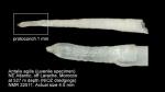 Dentaliidae