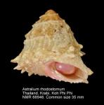 Astralium rhodostomum