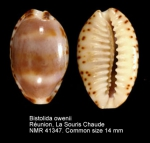 Bistolida owenii