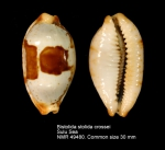 Bistolida stolida crossei