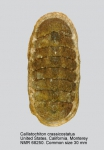 Callistochiton crassicostatus