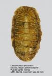Callistoplacidae