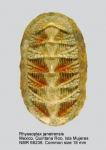 Calloplax janeirensis