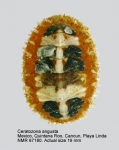 Ceratozona angusta