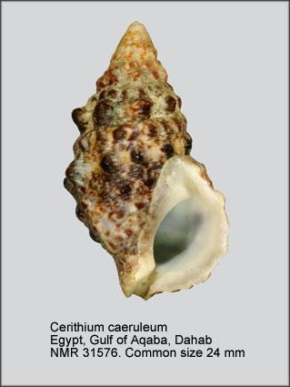 Cerithium caeruleum
