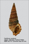 Cerithium coralium