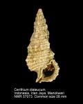 Cerithium dialeucum