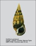 Cerithium guinaicum