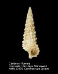 Cerithium lifuense