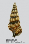 Cerithium planum