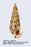 Cerithium vulgatum