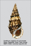 Cerithiidae