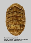 Chaetopleura (Chaetopleura) angolensis