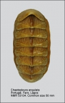 Chaetopleura (Chaetopleura) angulata