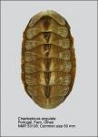 Chaetopleuridae