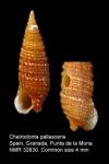 Cheirodonta pallescens