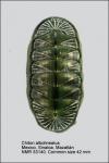 Chiton (Chiton) albolineatus