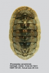 Chiton canariensis