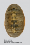 Chiton (Chiton) cumingsii