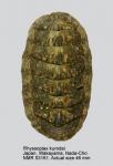 Chiton (Rhyssoplax) kurodai