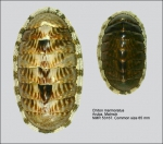 Chiton (Chiton) marmoratus