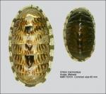 Chiton (Chiton) marmoratus