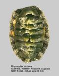 Chiton (Rhyssoplax) torrianus