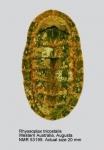Chiton (Rhyssoplax) tricostalis