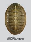 Chiton (Mucrosquama) verconis
