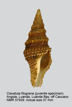 Clavatula filograna