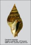 Clavatula imperialis