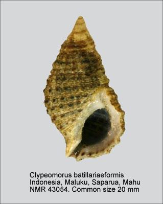 Clypeomorus batillariaeformis