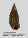 Clypeomorus nympha