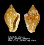 Columbella adansoni