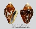 Columbella strombiformis