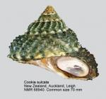 Cookia sulcata
