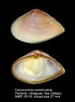 Caryocorbula amethystina