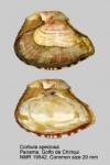 Corbulidae